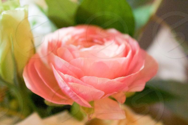 Flower Beauty dainty soft gentle intimate flowers beautiful woman females power softness kind peaceful ahimsa rose symmetry happy love marriage photo
