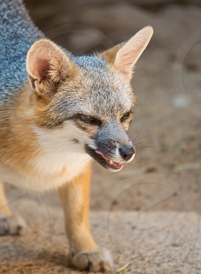 Tucson Arizona fox animal  photo