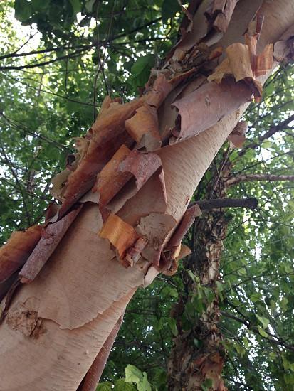 Peeling bark photo