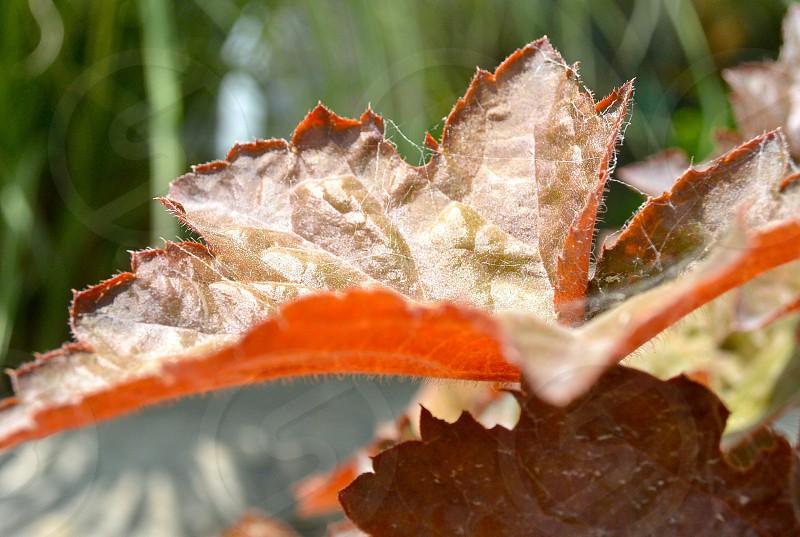 red leaf photo