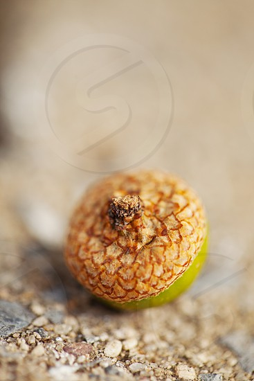 green and brown acorn macro photography photo