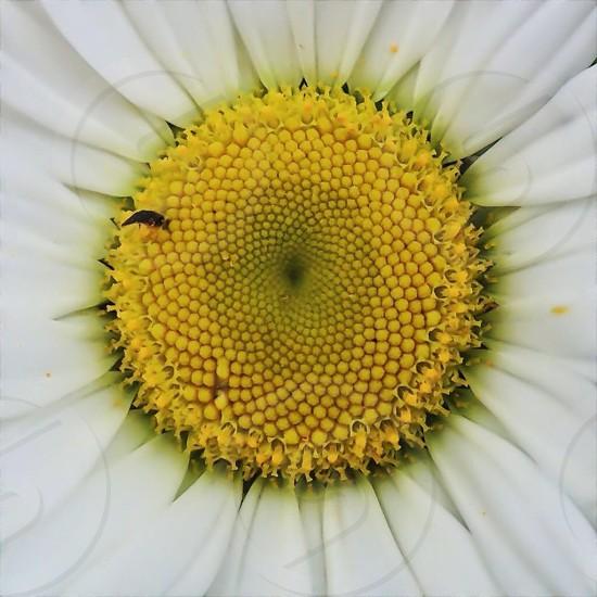 white and yellow daisy photo