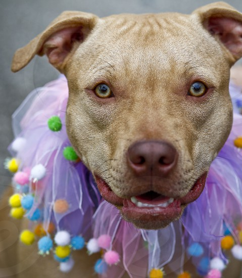 Dog pit bull cute dress up animal  photo