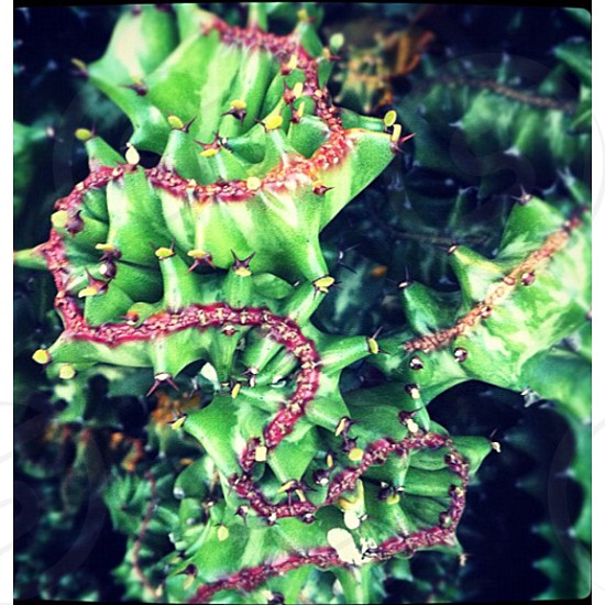 green and red cactus photo