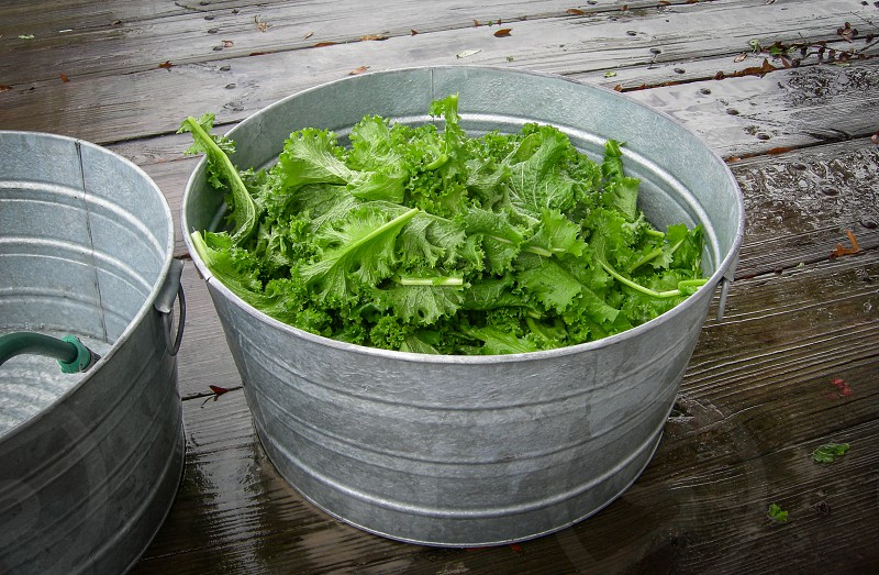 Country living means growing food. Washing fresh picked greens in galvanized tubs to get all the sand off the leaves. photo