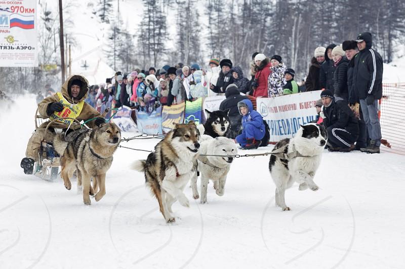 ESSO VILLAGE KAMCHATKA RUSSIA - MARCH 8 2013: Running dog sledge team Kamchatka musher Valery Chuprin. Kamchatka extreme Sled Dog Racing Beringia. Eurasia Russian Far East Kamchatsky Krai Bystrinsky Region Esso Village. photo