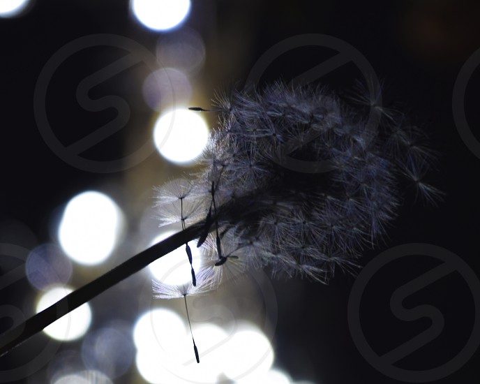 Dandelion in front of christmas lights photo