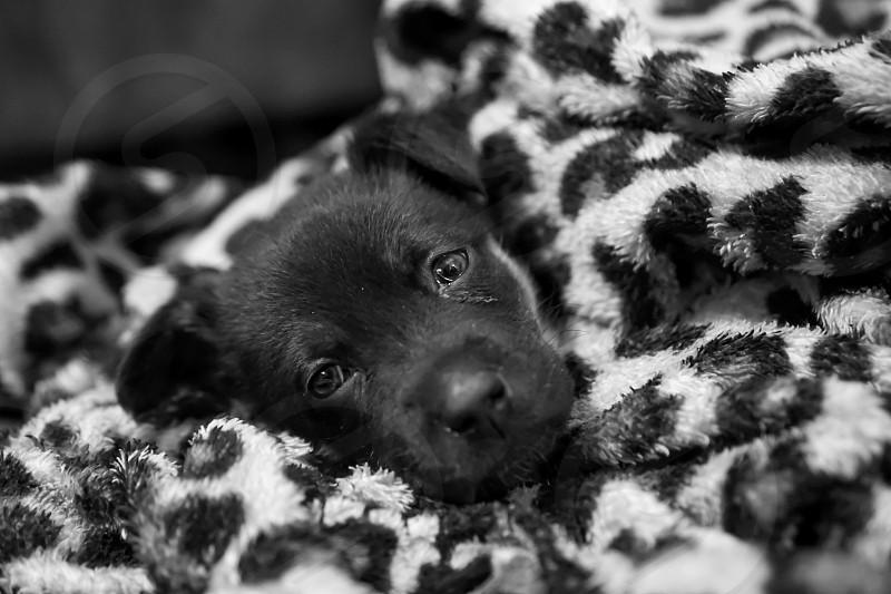 Puppy german Shepherd black and white pup pet  photo