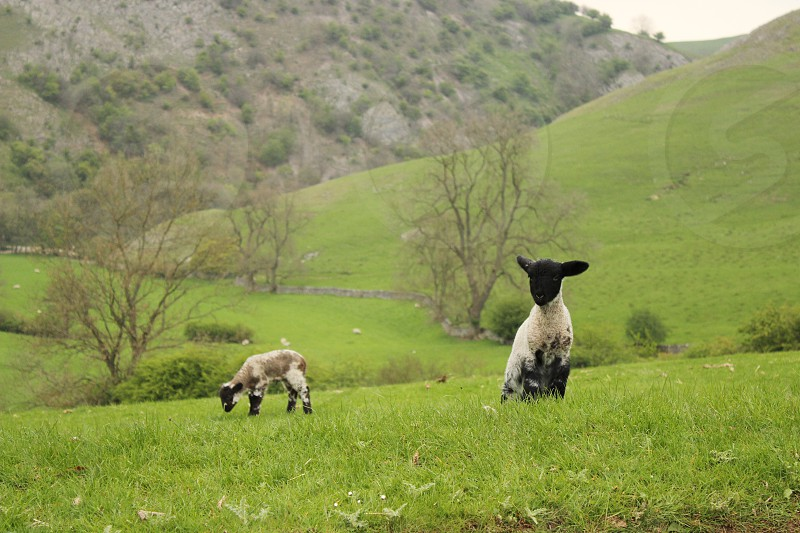 Baby lambs on the Peak district  Sheep field mountains hills photo