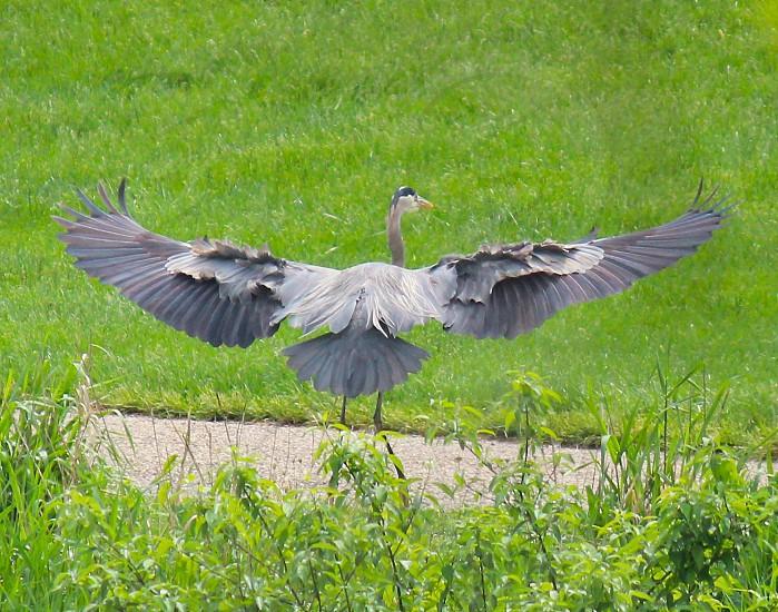 Great blue heron wind feathers water fowl wingspan bird birds photo