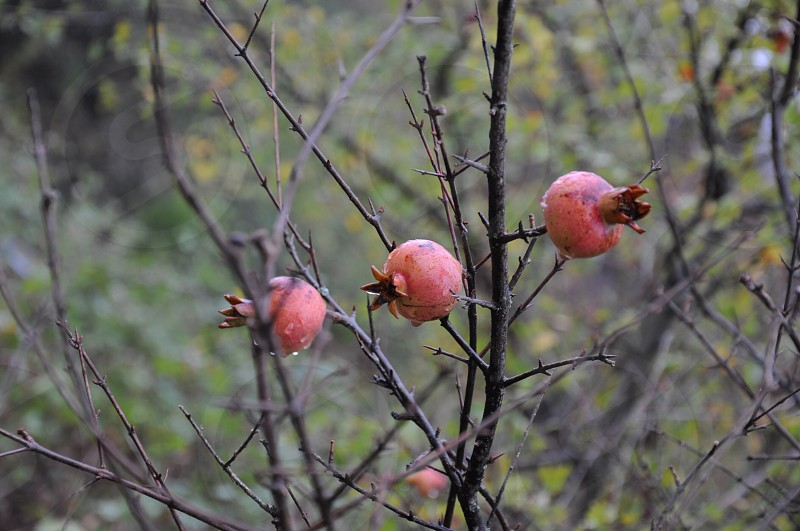 brown pomegranate plant photo