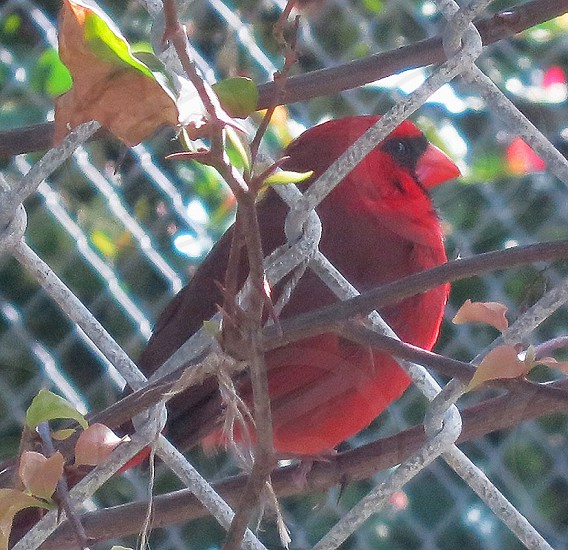 Red cardinal in chain link fence photo