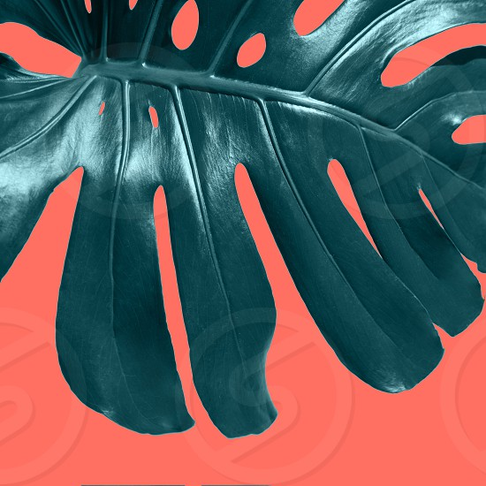 Close up view of branch green Monstera plant Philodendron leaf isolated on a color Living Coral background. Top view. Creative natural layout. photo