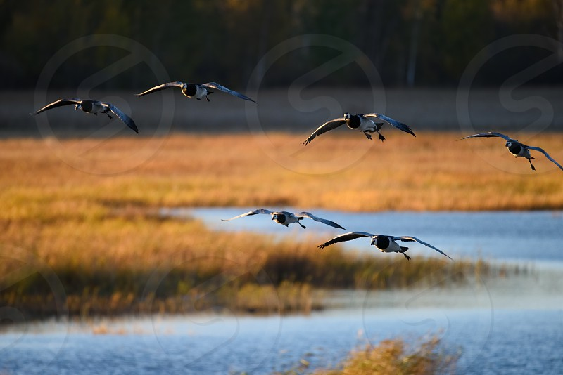 Flock of Canada geese flying over water on October evening in Espoo Finland. photo