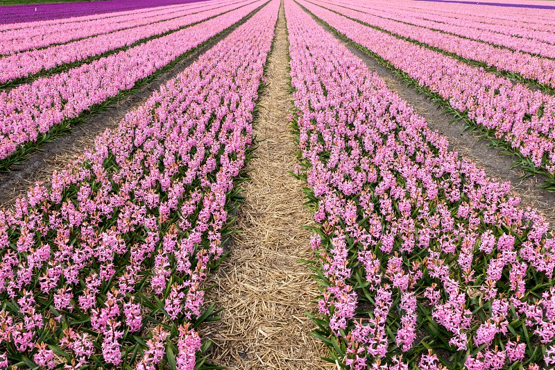 Finding geometric shapes in nature it's easy with flower fields in Netherlands. Not only these rectangular hyacinth flower fields were gorgeous but the smell too ! photo