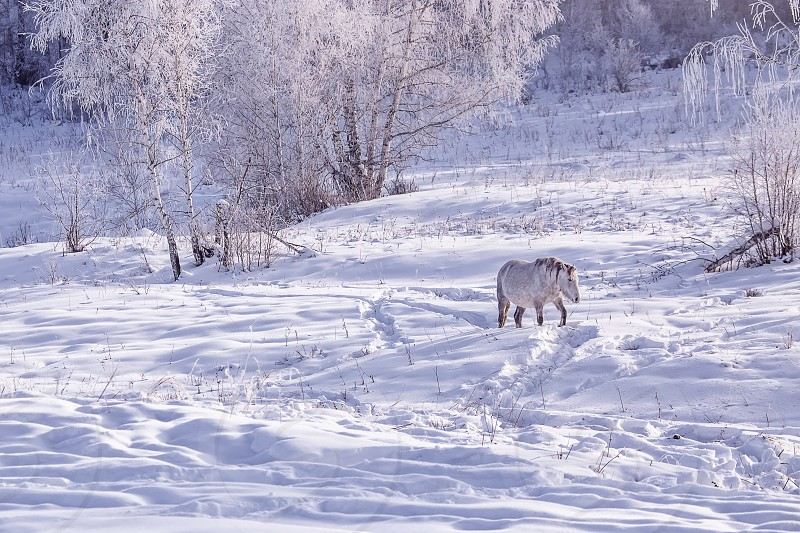 One Horse stay in the snowy woods in winter photo