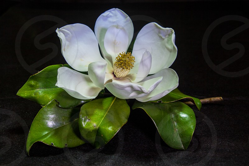 Blooming Southern Magnolia photo