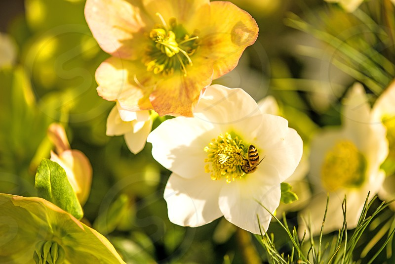 a blooming hellebore in a garden photo