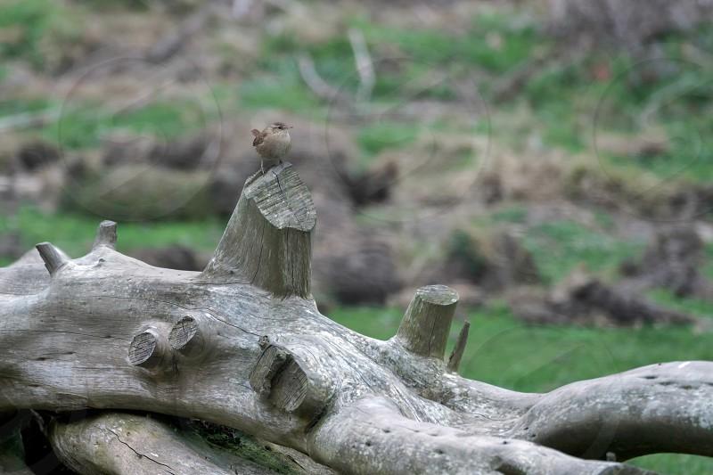 Wren (Troglodytes troglodytes) photo