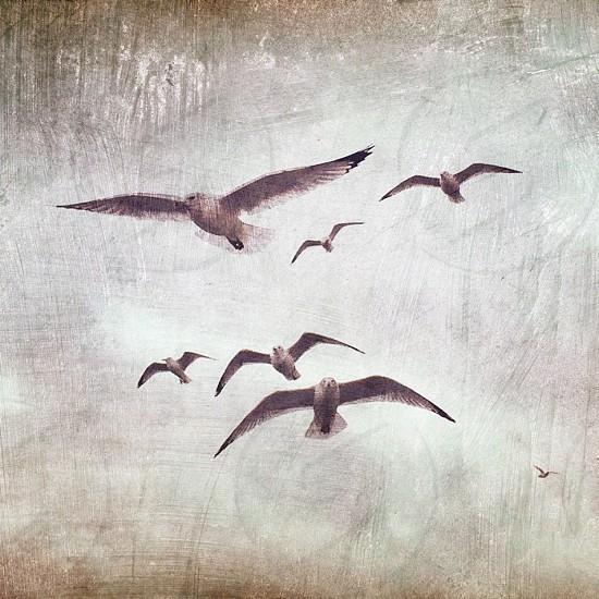 seagulls painterly flying birds flying birds gulls seabirds flight Lake Erie Erie PA Pennsylvania  photo