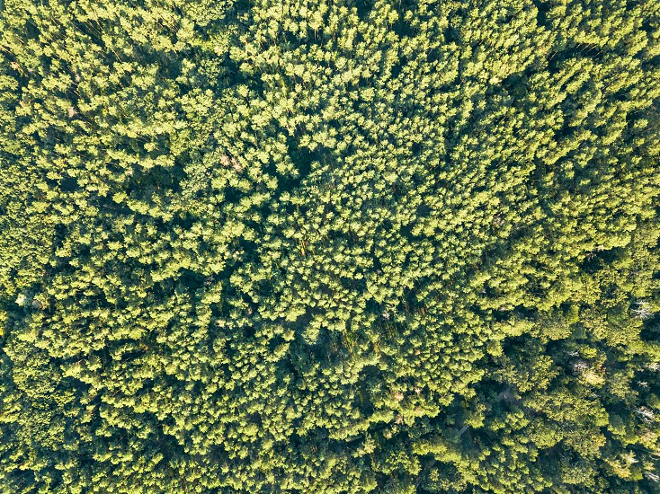 Green natural background of deciduous forest on a sunny day. Aerial view from the drone photo