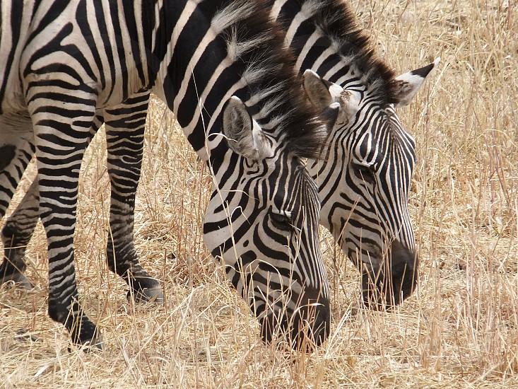 Grazing Zebras in Tanzania photo