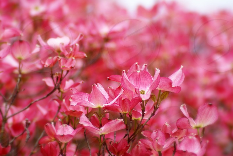 Pink Dogwood Blossoms flowers photo