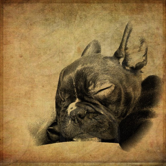 my frenchton Dio.  photo