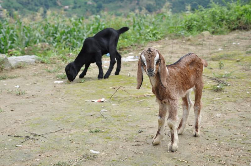 brown goat near black goat photo