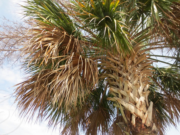 looking up at the palmtree  photo