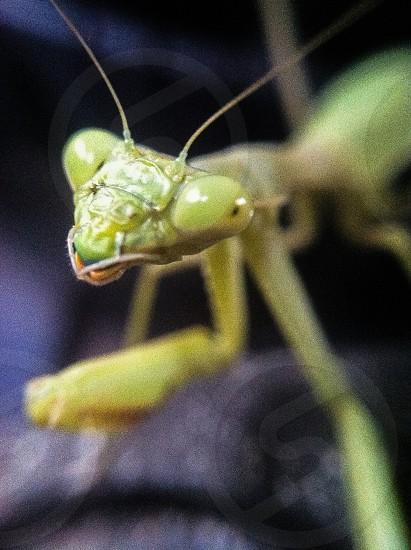 green praying mantis photo