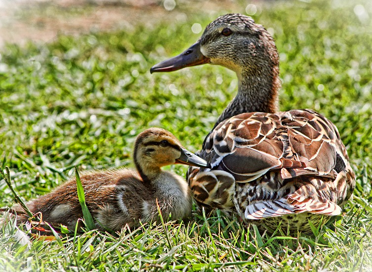 Brown mother duck sits on the grass with her duckling. photo
