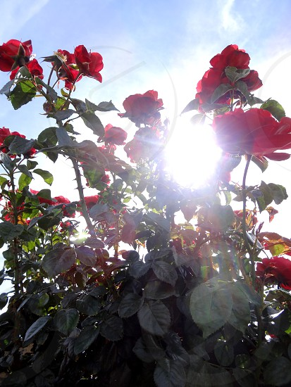 Sun and Roses photo