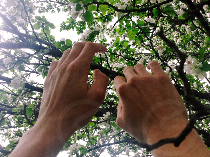 Reaching tree hands leaves apple tree flowers blossoms  photo
