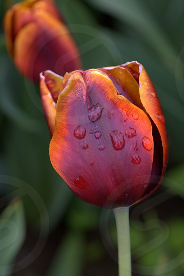 Colorful Tulip with Water Drops photo