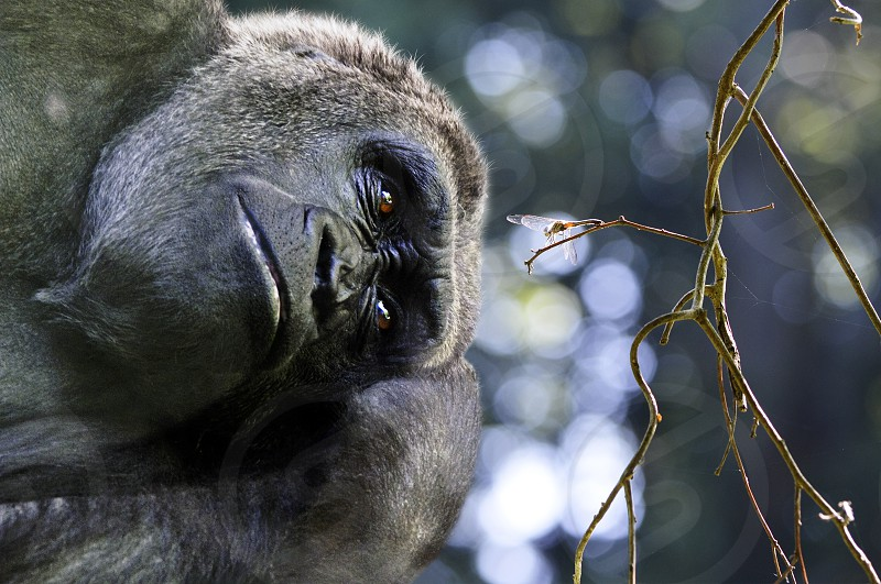 gorilla daydreaming love life the moment now the only moment that counts photo