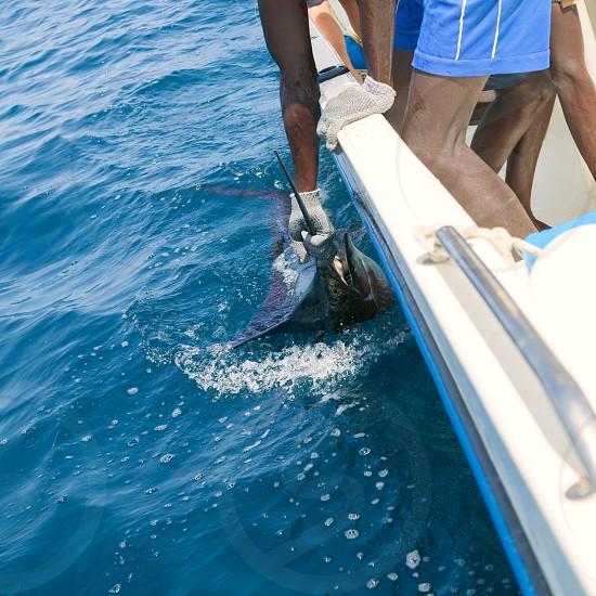 Sailfish catch billfish sportfishing holding bill with hands and gloves photo