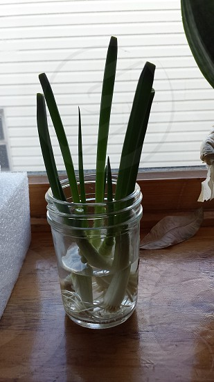 growing some scallions.. photo