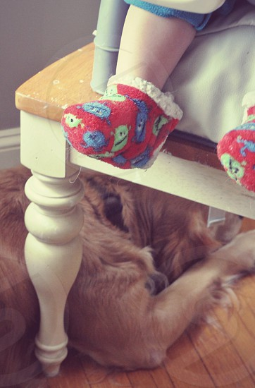 Golden retriever dog patiently waiting for food under child's high chair and baby booties. photo
