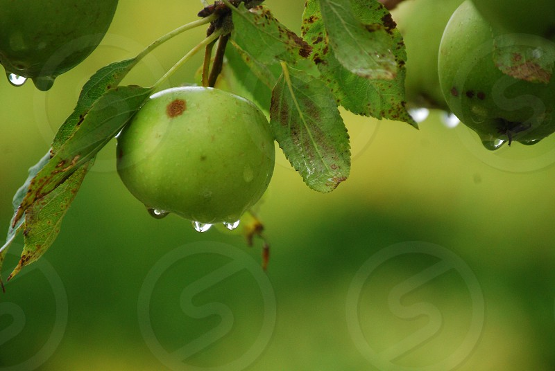 Green apples hanging on the tree. After the rain the sun has come out and raindrops are dripping from the fruit. photo