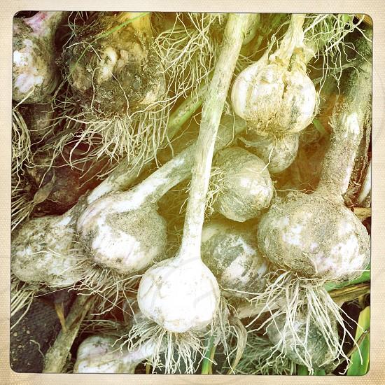 closeup photo of garlic bulbs photo