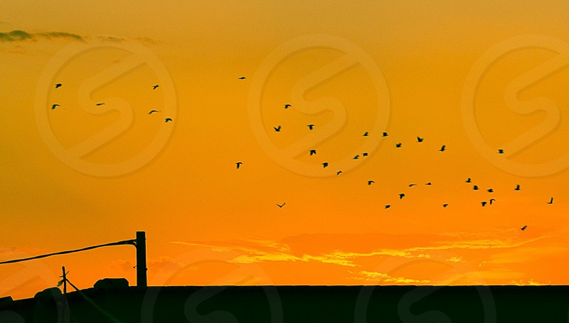 flocks of birds flying on the orange colored cloudless sky photo