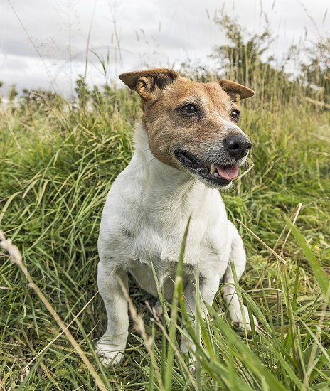 Jack Russell terrier sitting in a field photo