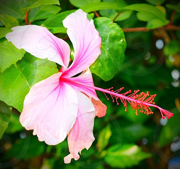 pink single hibiscus in full bloom photo