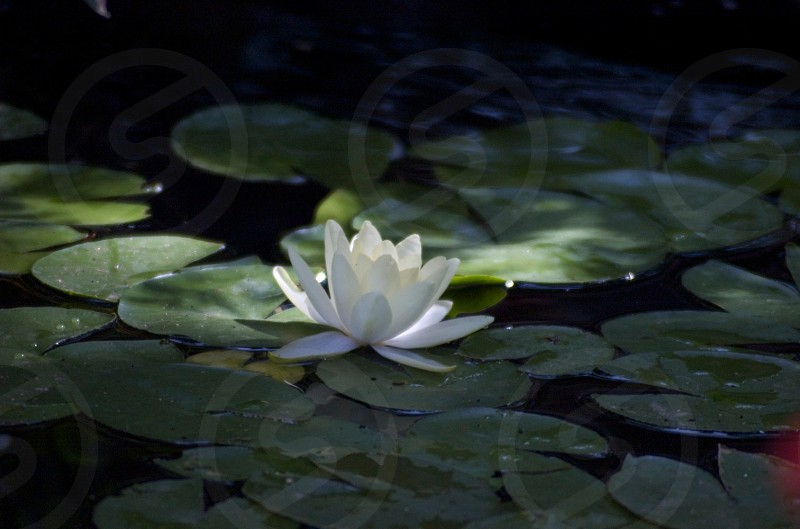white clustered petal flower on body of water photo