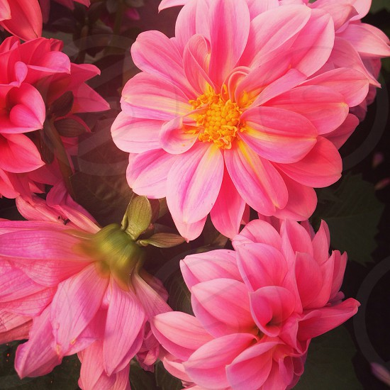 Flowers colours pink spring photo