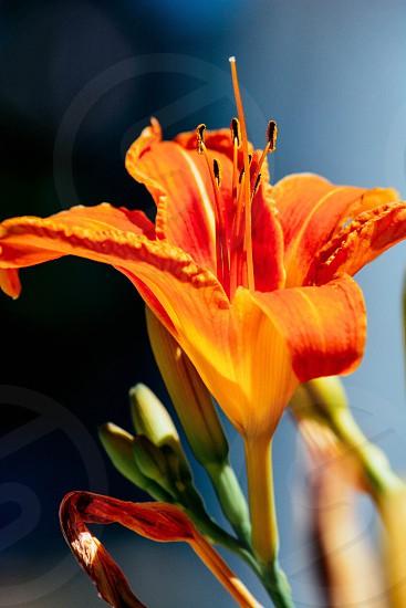 orange lily flower photo