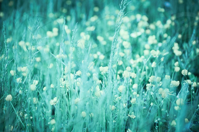 Flowers flowerfield  Fields nature field grass background wallpaper  web blueish blue turquoise  flower field flowering bloom blooming flourish  photo