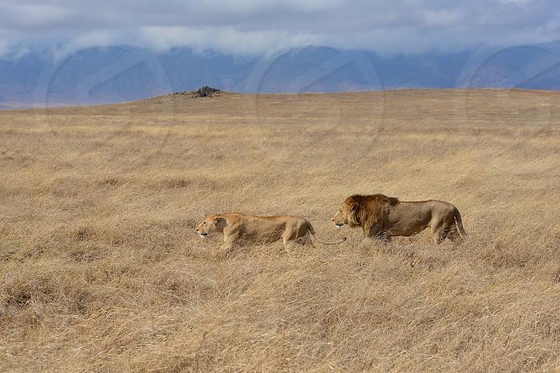 Lions Wildlife Wild Animals Honeymoon Safari Africa Lioness dangerous animals Ngorongoro crater photo