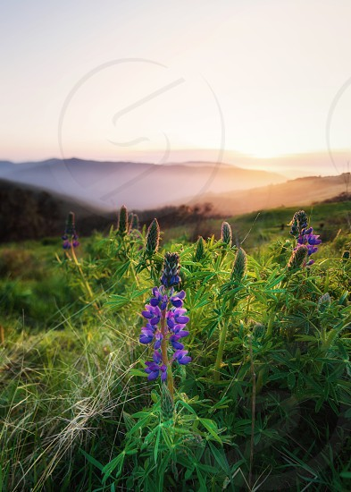 Landscape image of beautiful lupine blooms at sunset. Northern California USA. photo